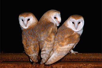 Barn Owl Box Project