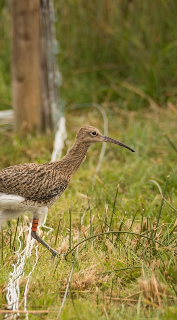 ENDANGERED CURLEW CHICKS RESCUED AT LOUGH NEAGH